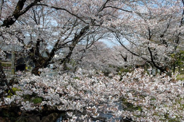 Cherry Blossoms of the Seki and Kitta Rivers
