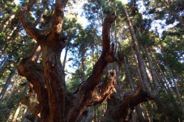 Kabusugi Giant Cedar Forest (21st Century Forest Park)